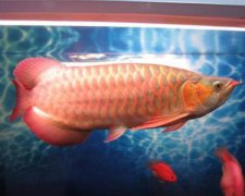 金龙鱼的寿命是多少年?非凡