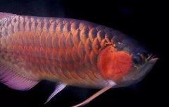 金龙鱼的繁殖方法: