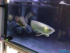 怎么区别青龙鱼和金龙鱼?