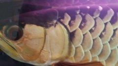 金龙鱼白霉病怎么治疗?
