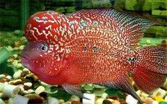 养罗汉鱼起头因素有哪些?
