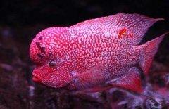 罗汉鱼品种有哪些怎么区分?