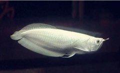 银龙鱼喜欢吃什么怎么喂养?