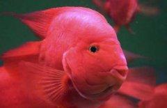 鹦鹉鱼常见病有哪些怎么治疗