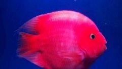红鹦鹉鱼变黑什么原因怎么治