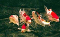 锦鲤鱼常见病有哪些如何