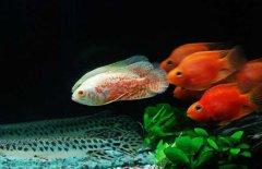 地图鱼怎么养比较好?