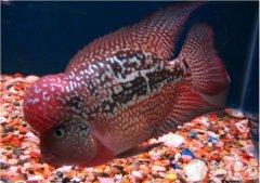 罗汉鱼的寿命大概是多久?