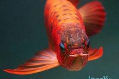天价金龙鱼是什么品种?