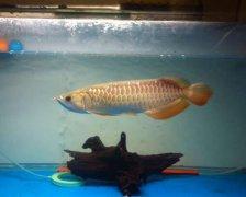 小高背金龙鱼怎么养?