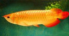 金龙鱼的寓意和象征是什么?