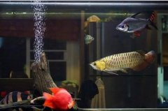 金龙鱼混养什么鱼最佳十大推