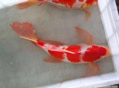 锦鲤鱼病和治疗方法