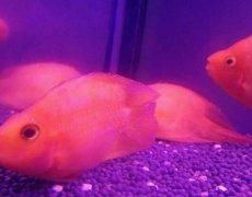 金刚鹦鹉鱼怎么正确饲养?