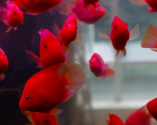 鹦鹉鱼常见病之感冒症状和治疗