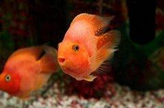 鹦鹉鱼常见病之水螅病症