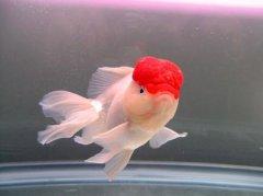 鹤顶红金鱼怎么养比较好