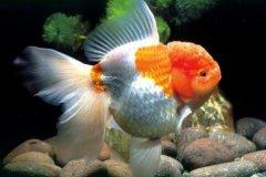 金鱼全身发白怎么治疗?