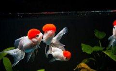 金鱼常见病之口丝虫病治疗
