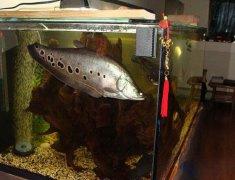 七星刀鱼吃什么长得快?