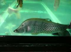 七星刀鱼混养方法和选鱼
