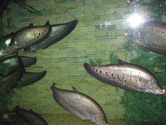 七星刀鱼常见病之黑斑病