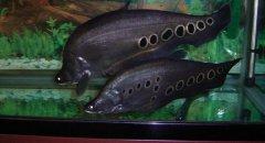 七星刀鱼常见病之水霉病