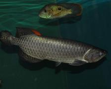 家里养的银龙鱼突然不吃食怎