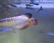 新手养的银龙鱼烂鳍病怎么治