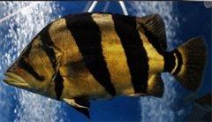 印尼虎鱼变明的技巧