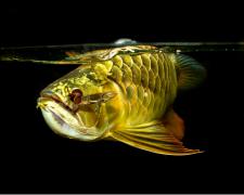 如何挑选观赏金龙鱼?