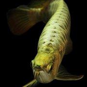 金龙鱼鳍破损怎么治疗?