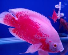 地图鱼气泡病怎么治疗?