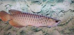 金龙鱼换水死了或不吃食的原