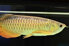 高背金龙鱼能长多大?