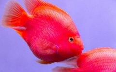 鹦鹉鱼突眼病怎么治疗?