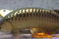 金龙鱼怎么繁殖?