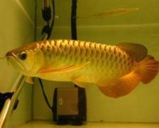 高背红尾金龙鱼价格多少?