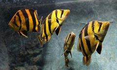 印尼虎鱼怎么养?