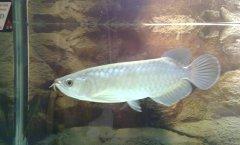 银龙鱼多少钱一条比较好