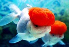 鹤顶红金鱼好养吗?