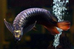 高背金龙鱼能过背吗怎么饲养?