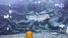 银龙鱼鱼苗价格多少钱?