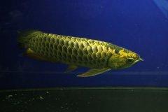 家养的金龙鱼能吃吗?