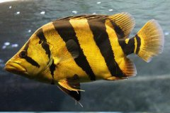 印尼虎鱼怎么变明虎十个有效