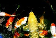 锦鲤和金鱼可以混养吗?