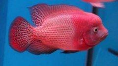红元宝鹦鹉鱼多少钱一条