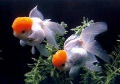 养金鱼几条最好?