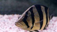 印尼三纹虎鱼