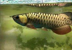 金龙鱼和银龙鱼的区别?